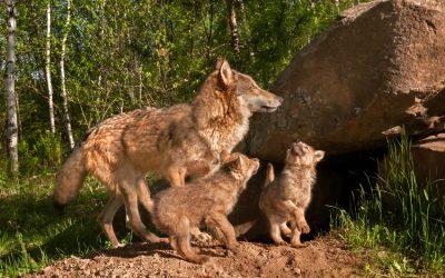 Brandenburgische Wolfsverordnung bleibt hinter Erwartungen zurück