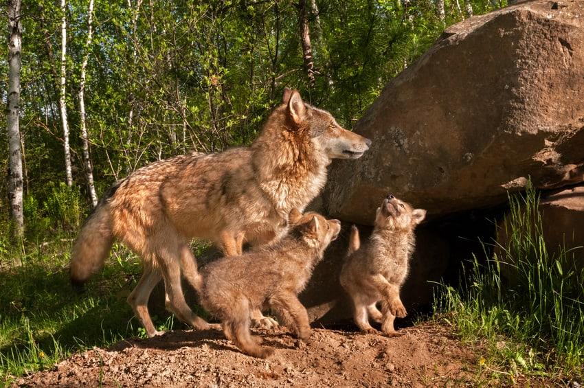 Der Wolfsnachwuchs wird flügge, die Politik bleibt in Deckung!