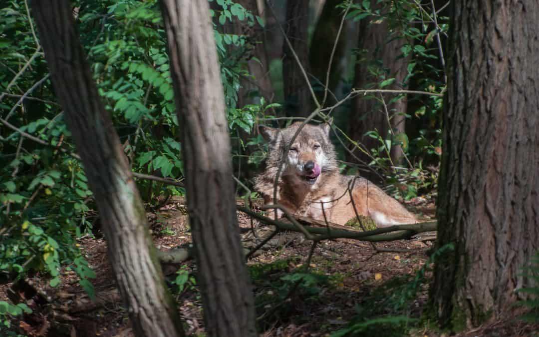 Bund lässt Brandenburg beim Wolf im Stich